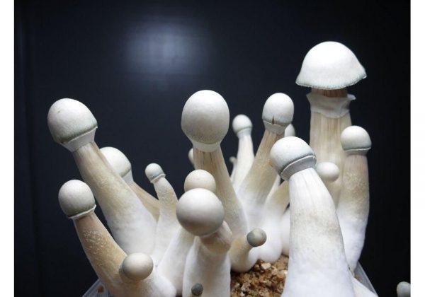 Buy penis envy mushroom