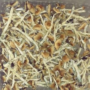 Buy magic mushroom, psychedelic mushrooms, psilocybin cubensis or psilocybin mushroom here at Psilocybin Lounge finely pick and properly selected.